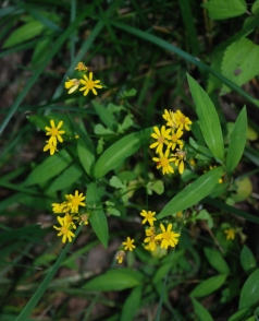05butterweed