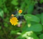 09two_flowered_cynthia