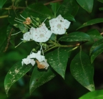 22mountain_laurel