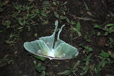 24luna_moth