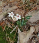 39spotted_wintergreen