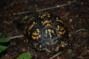 33eastern_box_turtle