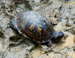 16eastern_box_turtle