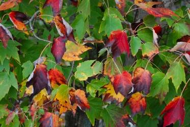 35maple_leaves