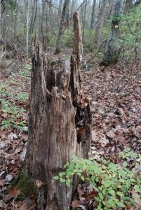12old_stump