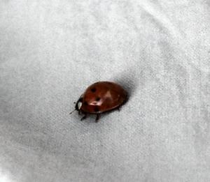39ladybug