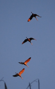 11cranes_in_flight