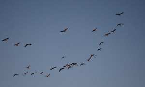 12cranes_in_flight