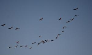 12cranes_in_flight
