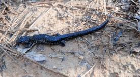 Slimy Salamander