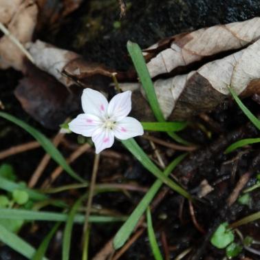 Virginia Spring Beauty