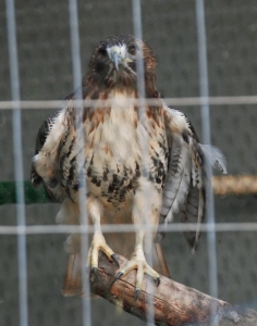 20red_tailed_hawk