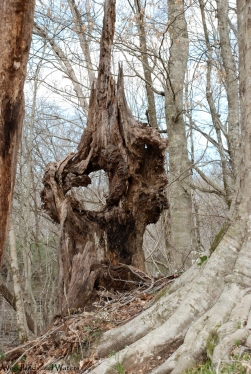 59rotted_tree_mf_ascent