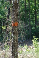 Orange markings on trees