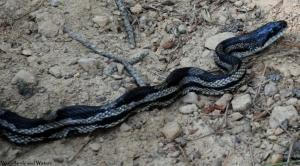 12gray_rat_snake