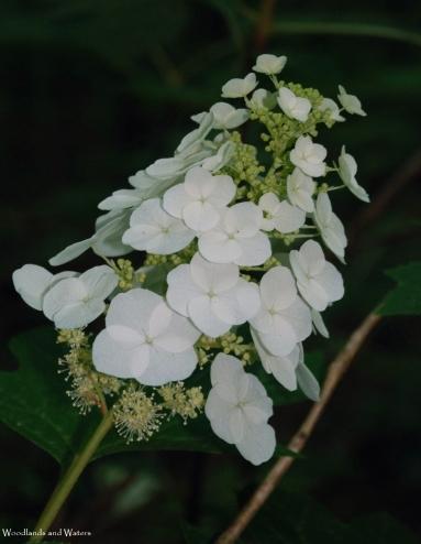 Oak Leaf Hydrangia