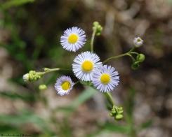 Lesser daisy fleabane