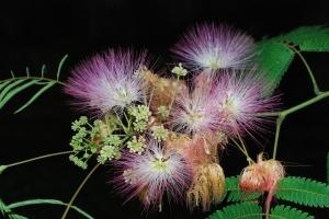 mimosa_blossoms