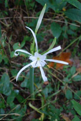 Carolina spider lily