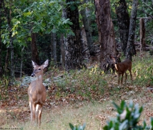 Deer at Cheaha