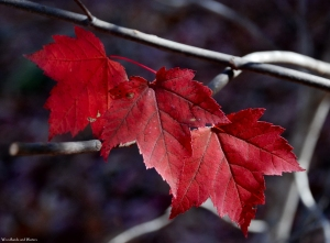 34maple_leaves_ww