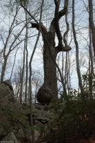 27swollen_tree