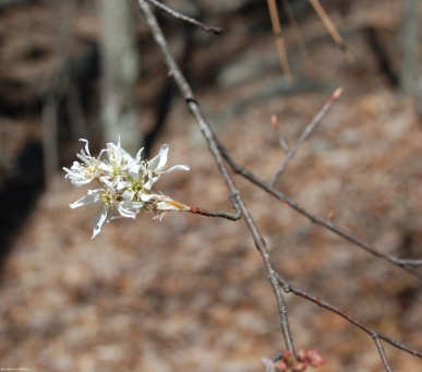 Downy serviceberry