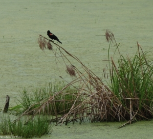 42red_winged_blackbird