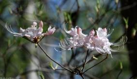 pinxter_flower