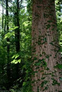 19vines_trees