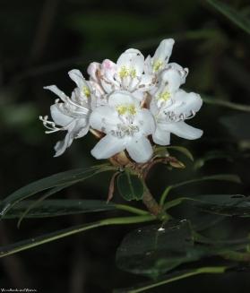 06rosebay_rhododendron