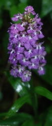42small_purple_fringed_orchid