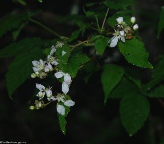 16blackberries