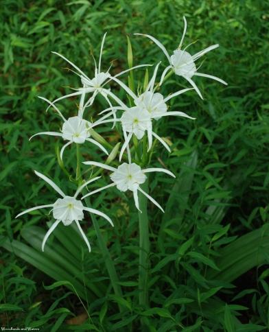 Carolina spider lily, Henry Horton State Park