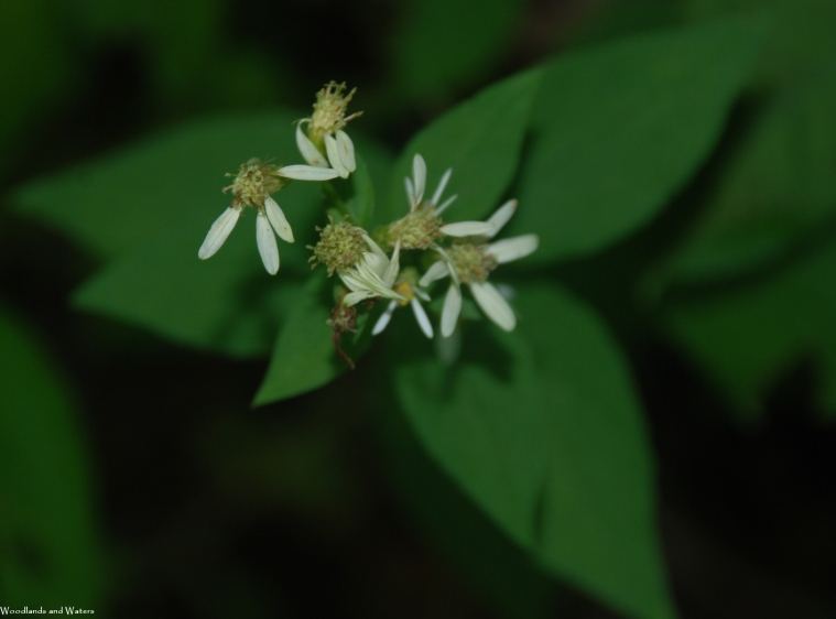 40white_wood_aster