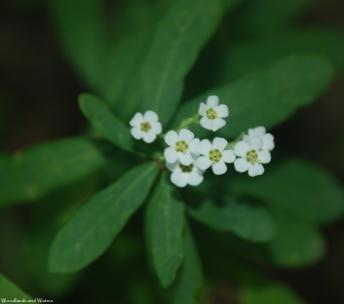 81flowering_spurge