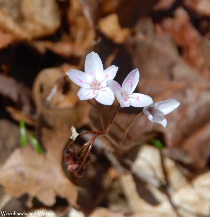 08virginia_spring_beauty