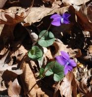 21common_blue_violet