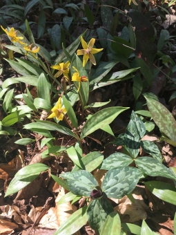 Trout Lily with Trillium