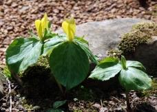 Lemon toadshade (Trillium luteum)