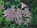 Resurrection lily (Lycoris squamigera)