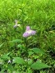 Square-stemmed monkey flower (Mimulus ringens)