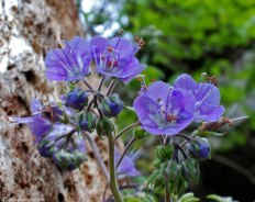 Purple phacelia