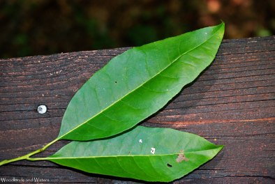 Sourwood leaves