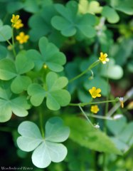 Slender yellow wood sorrel