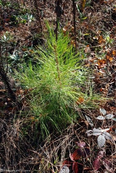 41shortleaf_pine