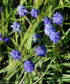 09grape_hyacinth
