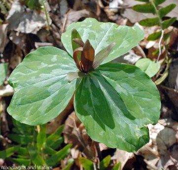 Sweet Betsy trillium