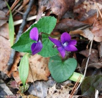 Southern wood violet